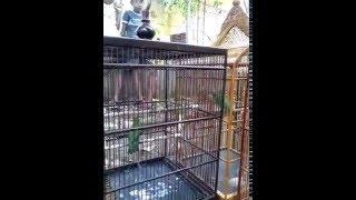 Dua Burung Cucak Ijo Berkicau Bersahutan