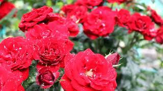 "Intro ""Rose and drops of dew""  Интро ""Роза и капли росы"" Заставки для видео без звука"