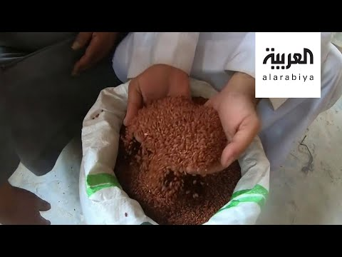 العرب اليوم - شاهد: الأرز الأحمر ذهب الأحساء السعودية