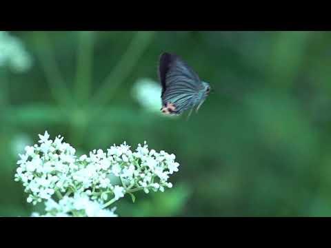 アオバセセリの飛翔