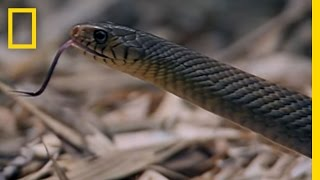 King Cobra - Hunting Ratsnake