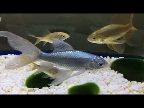 【鉄魚】追加で鉄魚お迎えしました〜!【追い鉄】