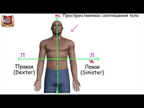 Анатомические ориентиры и терминология