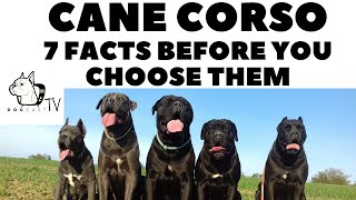 Before you buy a dog - CANE CORSO - 7 facts to consider! DogCastTV!