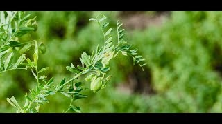 Exploring How Lentils Are Grown & Their Sustainability Attributes