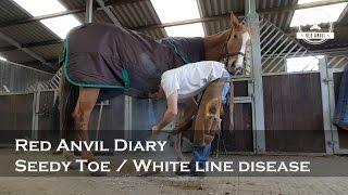 Red Anvil Diary  -  Seedy Toe/White Line Disease