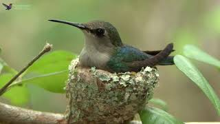 Bee Hummingbird - Female on nest