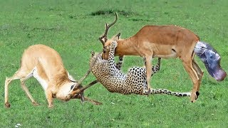 Leopard Knocked Down Impala Baby. Wild life is harsh