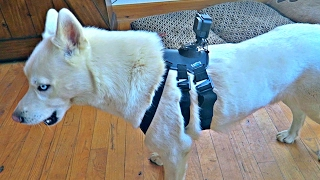 GoPro Dog Harness Test