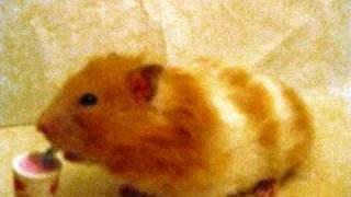 Cute Hamster Pictures