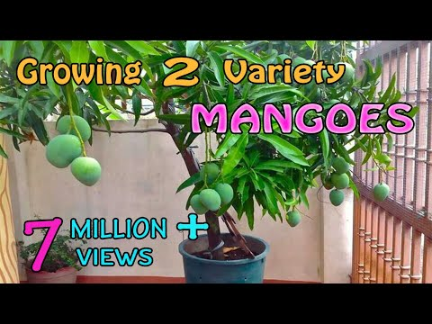 Download Grafting Two Different Variety Mangoes in a Single Mango Plant HD Mp4 3GP Video and MP3