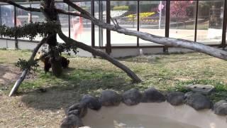 【和歌山県】食べてしまいたいほどかわいいレッサーパンダ