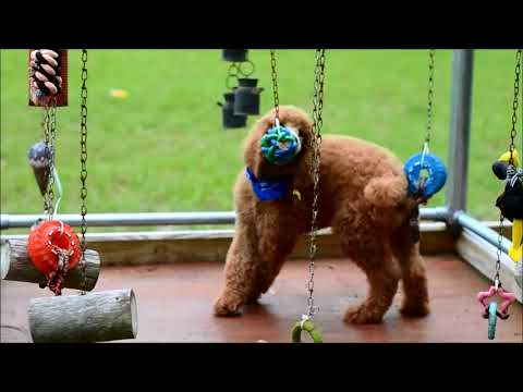 Red Standard Poodle playing in activity box
