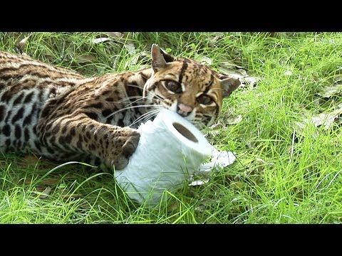Do Wild Cats Like Toilet Paper as Much as House Cats?