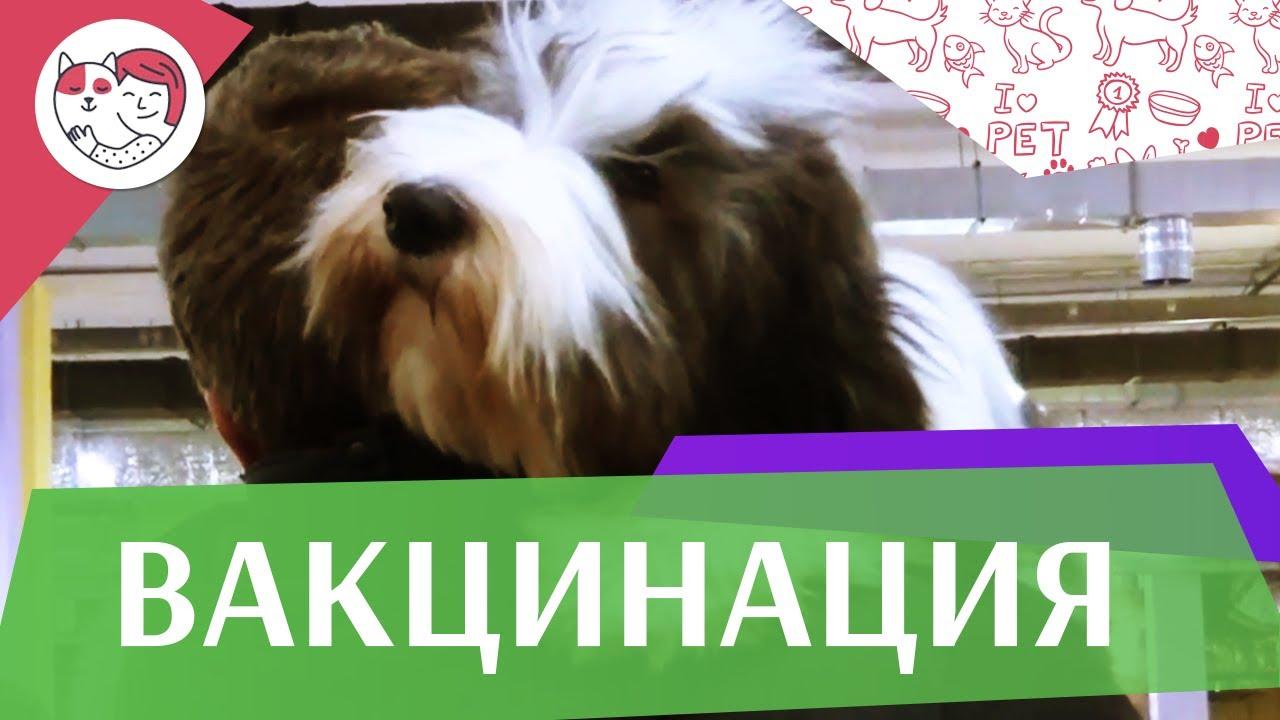 Мифы о вакцинации собак на ilikepet