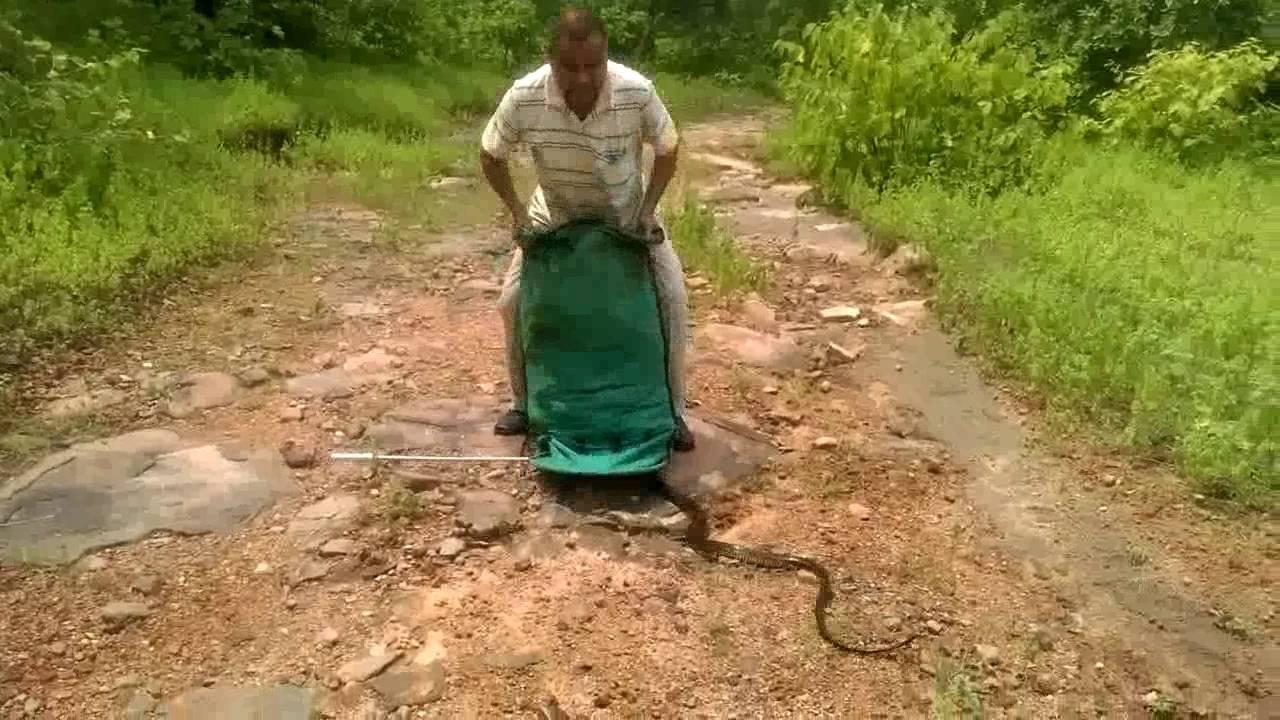 Индиец выпустил на волю 300 змей