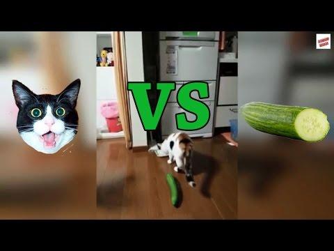 חתולים פוגשים לראשונה מלפפון - האם הם יבהלו או ישארו רגועים?
