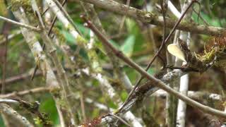 Anolis sp. nov.