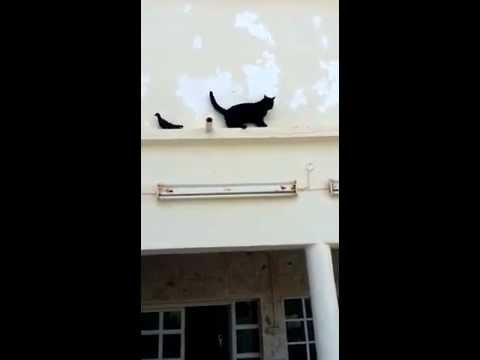 Cat Outsmarted by a Pigeon
