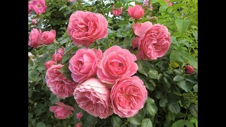 Rose Garden ~ Johnny Mathis ~ HD