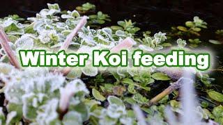 Feeding Koi in Winter | What to feed your Koi?