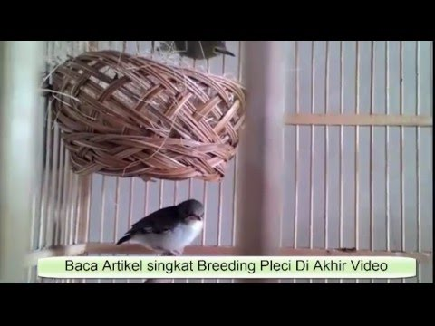 Video Rahasia Sukses Cara Ternak  Pleci Lengkap Full Narasi -  Pleci Maput - Pleci Merapi