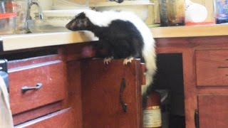Help...there's a skunk in my kitchen!