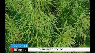 Христинівчанин на присадибній ділянці вирощував коноплю