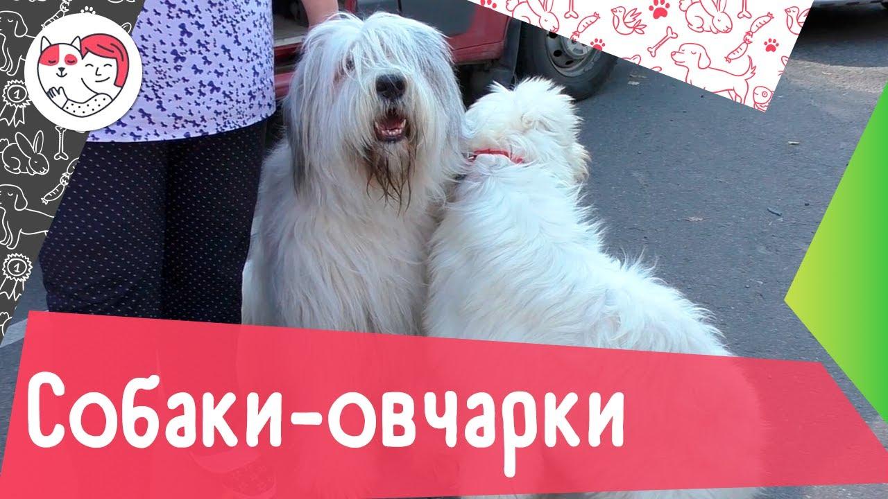 5 необычных собак-овчарок