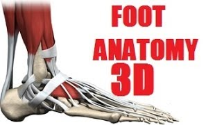 Foot - Muscles