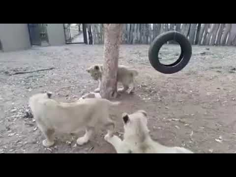 Tiger Vs Dog Fight!!! Dog Win... Must Watch Video