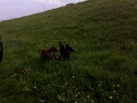 Rocky & Tjesto - spelende honden in Cuijk