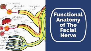 Functional Anatomy of the Facial Nerve