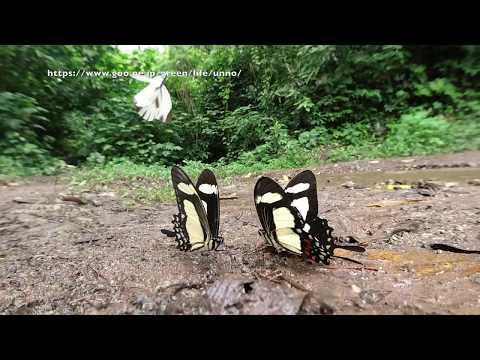 キオビアゲハをOsmo Actionで Papilio torquatus