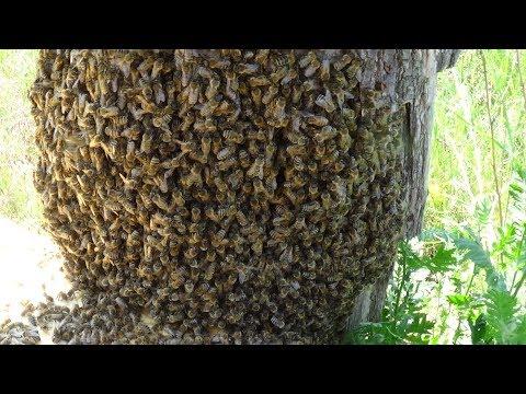 Роевой стрес пчелы и заселение колоды