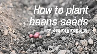 Howtoplantbeansseedsマメ科の種の植え方家庭菜園