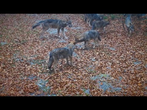 Συναντώντας λύκους στο Εθνικό Πάρκο Ρίσνιακ