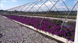 Best Perennials - Verbena 'Homestead Purple' (Creeping Vervain)