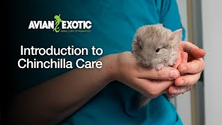 Introduction to Chinchilla Care