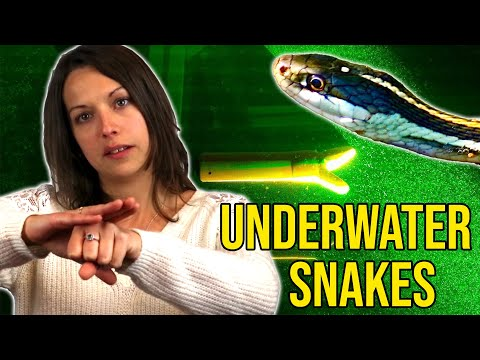 <p>When catching prey underwater snakes use two main techniques: the frontal strike and the lateral strike. By studying real snakes in the lab at ESPCI/MNHN, Marion Segall was able to recreate the setup using a 3D-printed snake head and laser visualisation techniques, which allowed for the forces involved in each strike to be measured. </p>