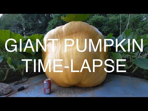 Watch a Giant Pumpkin Grow Before Your Eyes