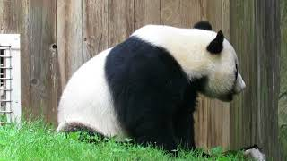 Giant Panda Bei Bei Has a Visitor