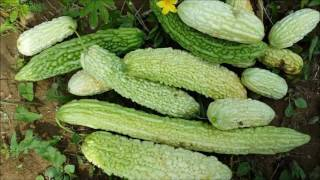 MOMORDIKA - Biljka Koju  Vredi Gajiti + Recept, Sok Od  Gorke Dinje