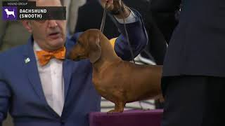 Dachshunds Smooth | Breed Judging 2020