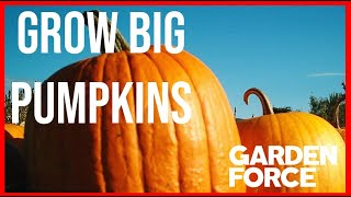 🍠What You Need To Know When Growing Pumpkins - Grow Big Pumpkins