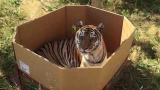 Тигры — тоже кошки (доказано коробкой)