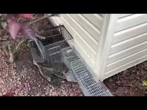 This homeowner in Jackson, NJ has had enough of a couple of groundhogs destroying everything she plants every...