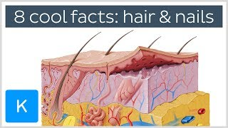 8 Cool Facts About Hair and Nails - Human Anatomy | Kenhub