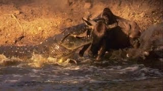 Nile Crocodile - Hunting Wildebeest