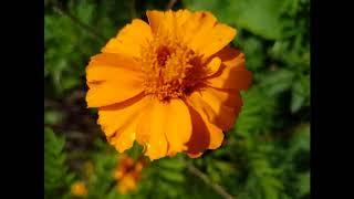 Magical Plants: Marigold
